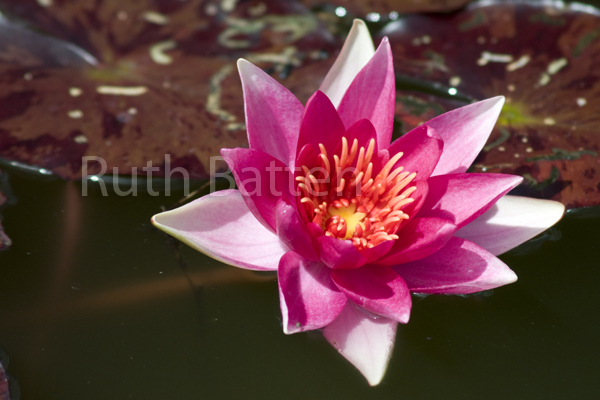 Nymphaea Lucida Water Lily Tiger Lotus Pp212